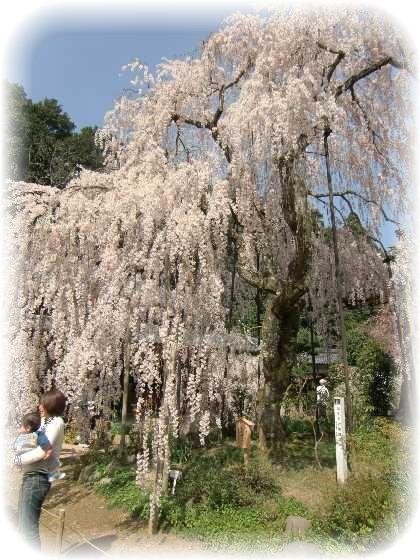 Sakura9_2
